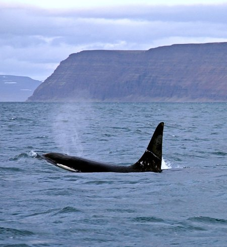 an orca surfaces off Iceland