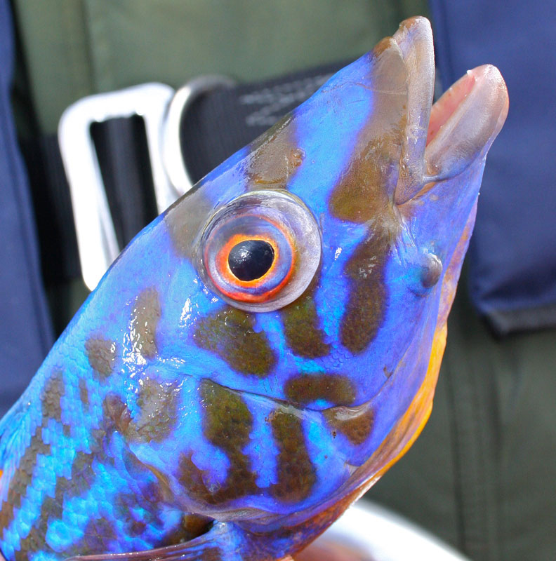 a close up of a brightly coloured male cuckoo wrasse