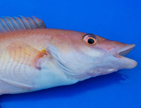 species ID cuckoo wrasse female