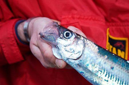 species ID herring