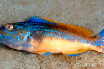 species ID cuckoo wrasse male