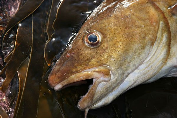 cod head close up
