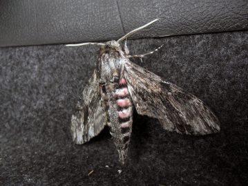 Holyhead Breakwater species session moth