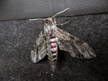 Holyhead Breakwater species session moth