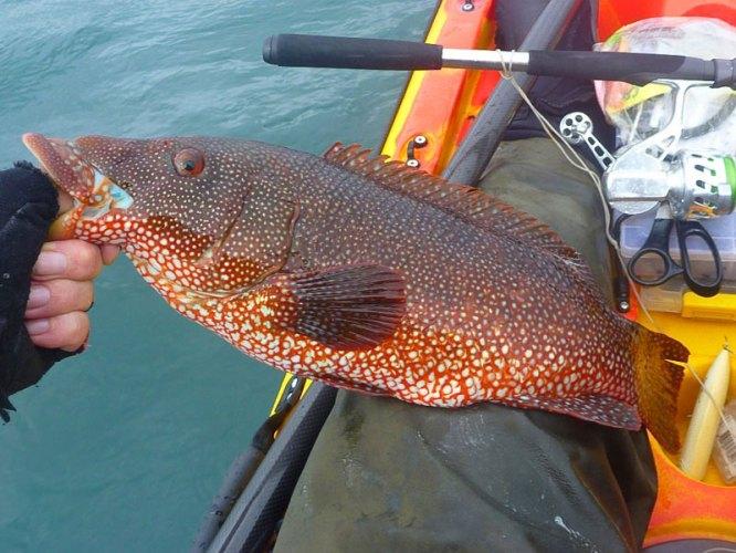 LRF HRF kayak fishing in Jersey red wrasse