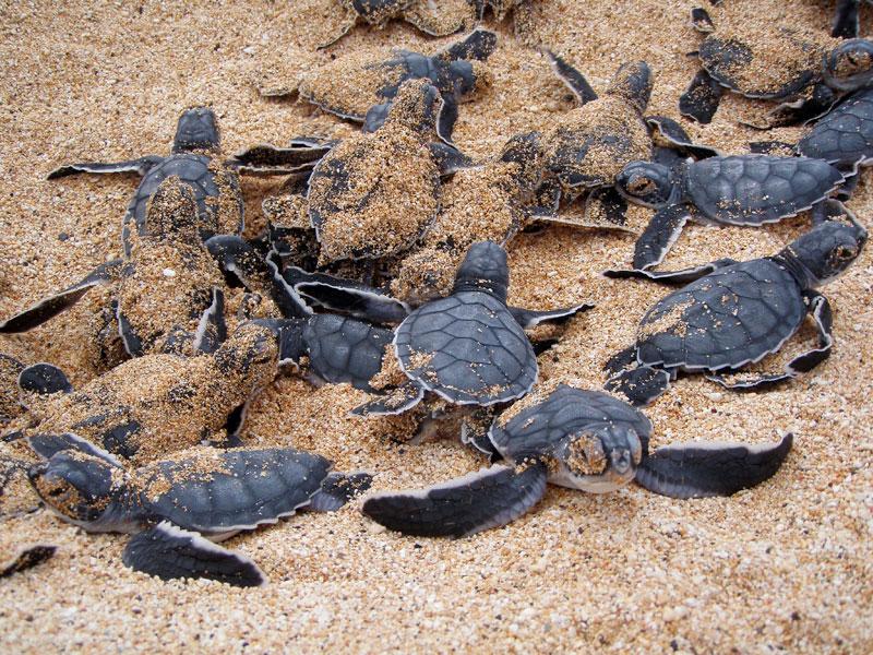 Ascension Island Shore Fishing turtles