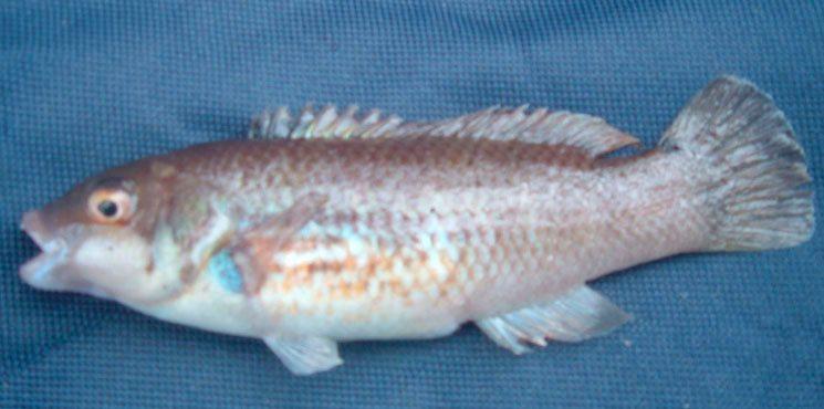 species ID goldsinny wrasse