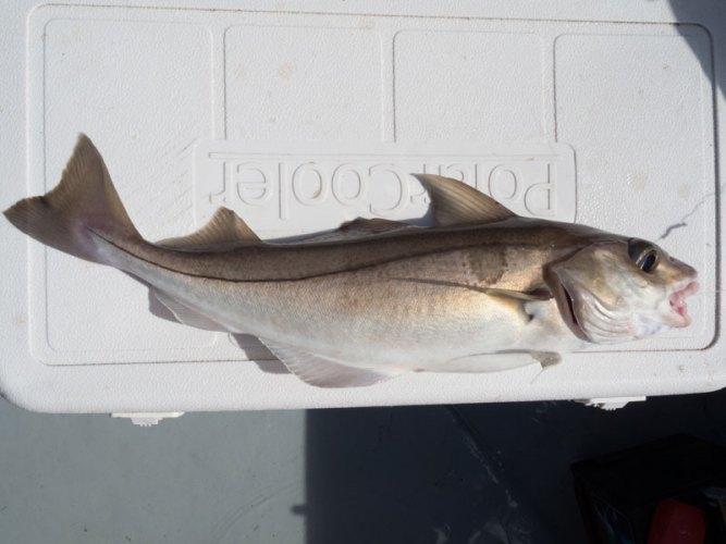 species ID haddock