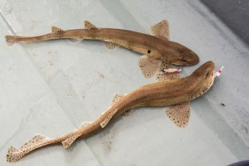 species ID lesser spotted dogfish