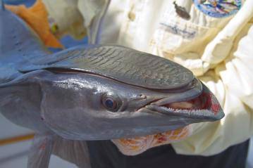 remora or sucker fish