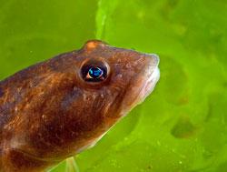 viviparous fish