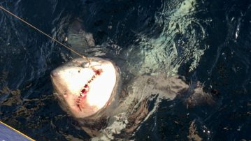 A toothy Scottish porbeagle shark