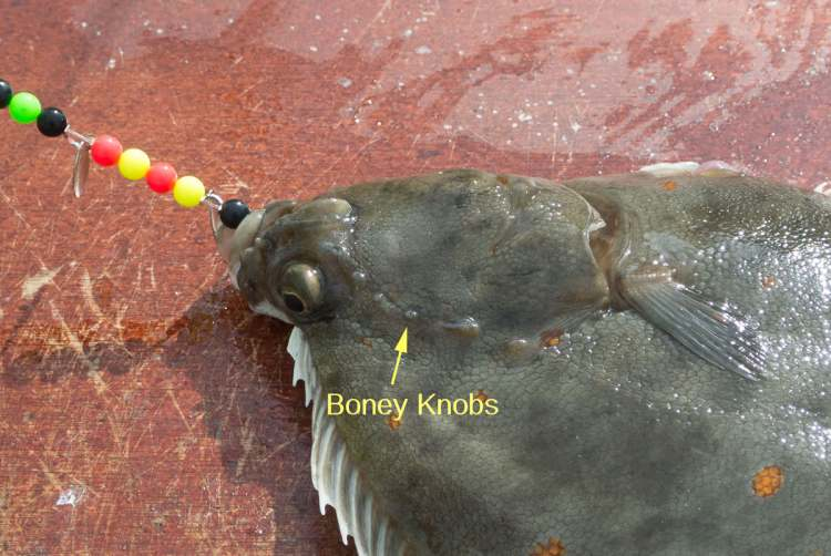 flatfish identification - the boney knobs on a plaice