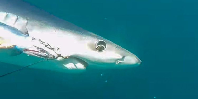a Cornish blue shark