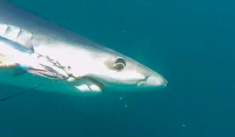 a Cornish blue shark