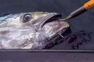 A Cornish bluefin tuna