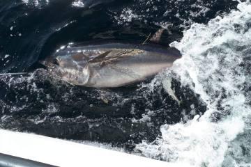 Tagged Bluefin Tuna, Donegal Bay 2019. Copyright Adrian Molloy