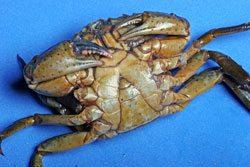 hardback crab