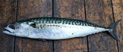 joey mackerel