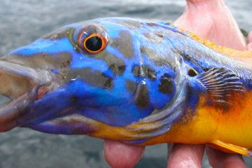 a brightly coloured male cuckoo wrasse