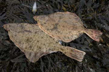 species ID flounder