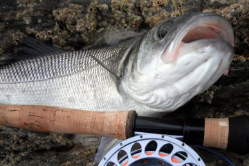 an Irish bass taken on the fly