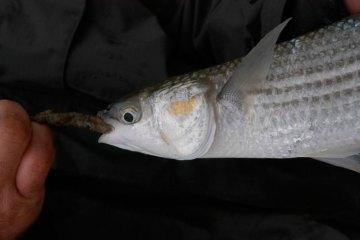 species ID golden grey mullet