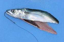 mackerel flapper