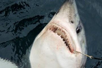 A close up of a Scottish porbeagle shark