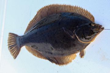 a Winter flounder