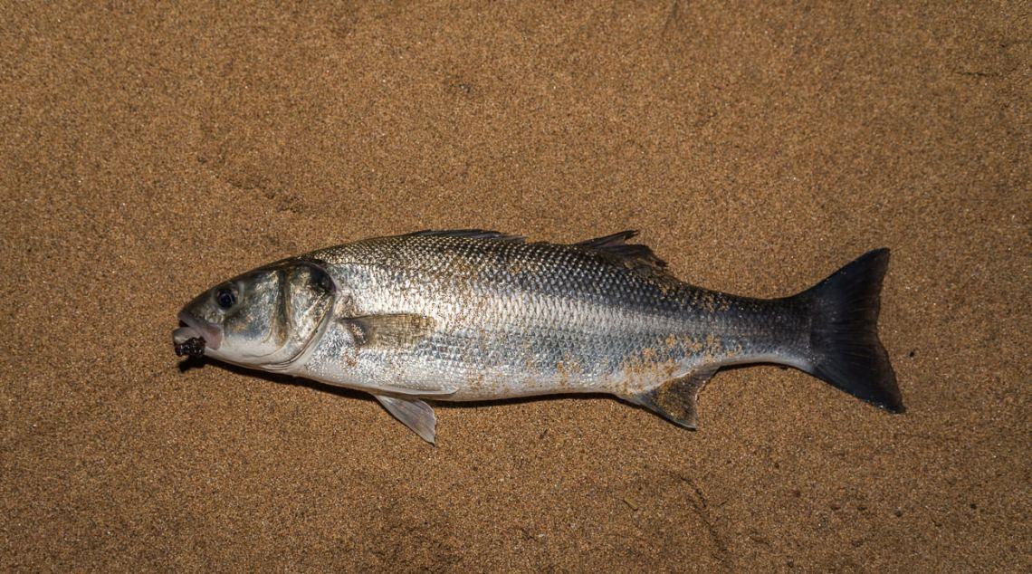 a shore caught bass