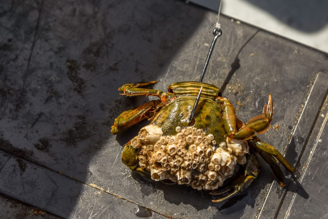A peeler crab ready for the smoothhounds
