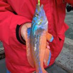a brightly coloured male cuckoo wrasse with yellow beads