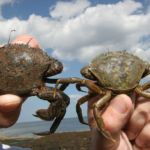 a velvet swimming crab, left, and a shore crab