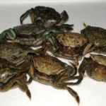 peeler crabs popping ready for wrasse