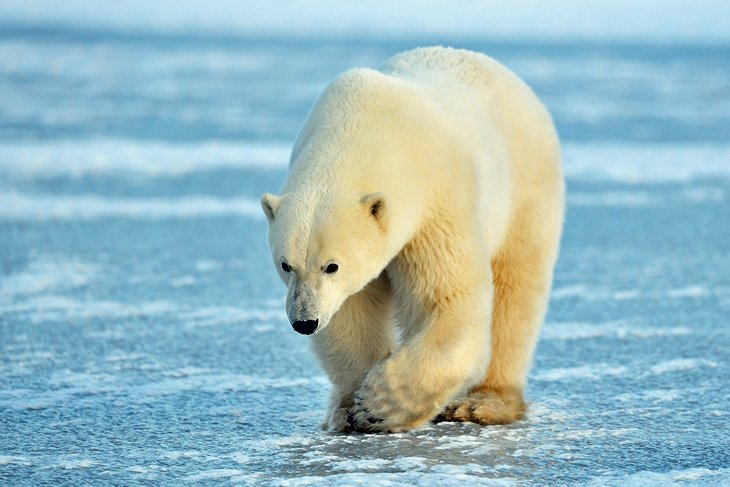 Polar Bears of Churchill, Manitoba