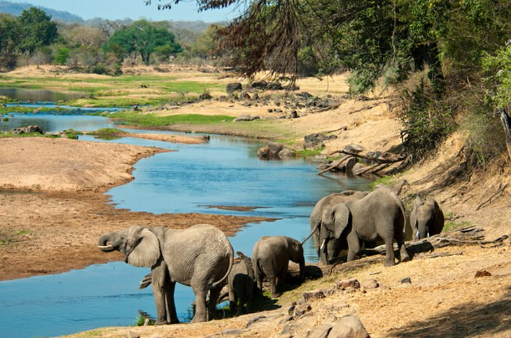Ruaha has large herds of buffalo, elephant and gazelle