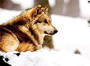 Lobo de Naturlandia