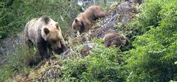 Avistamiento de osos en Asturias
