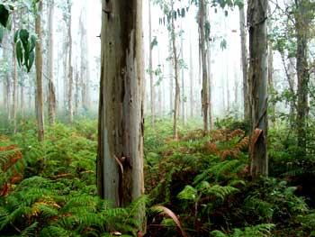 Bosque de eucaliptos Galicia