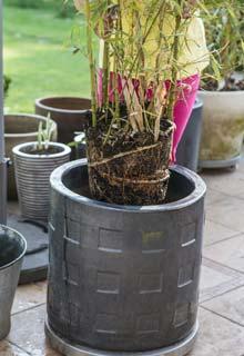 les bambous en pot