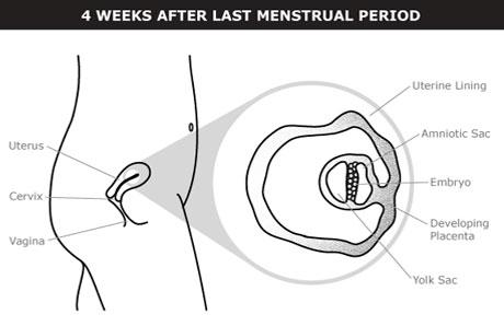 pregnancy-week-4.jpg
