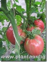 Coeur-de-Boeuf-tomaten (5)