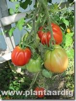 Coeur-de-Boeuf-tomaten (7)