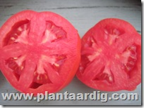Coeur-de-Boeuf-tomaten-Corazon