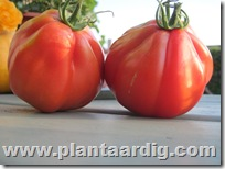 Coeur-de-Boeuf-tomaten-aurea (4)