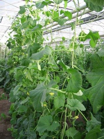 4 juli ** De groei van de honingmeloen is lang gerekt. De afstand tussen twee bladeren is groot, de bladstelen zijn lang en ook de zijscheuten zijn lang.
