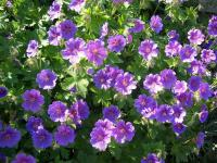 Perennial Plant - Bing images