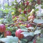 Bogyós gyümölcs