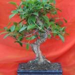 Ficus microphylla